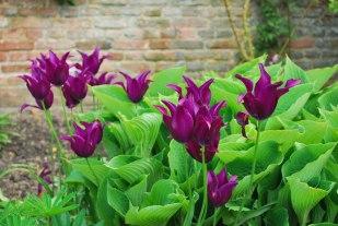 sierlijke tulpen dansen tussen de hosta's