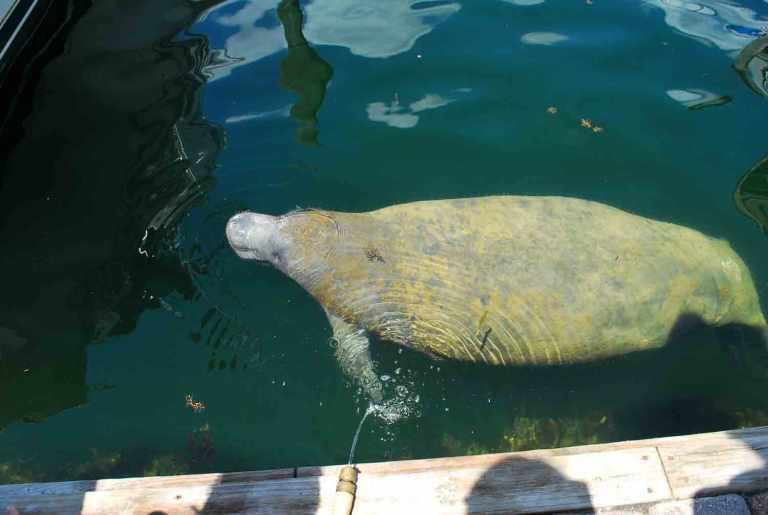Key Largo lamantijnen